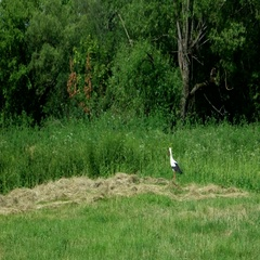White stork walking on the field in search of food Stock Footage