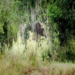 Elephant in Wildlife Stock Footage