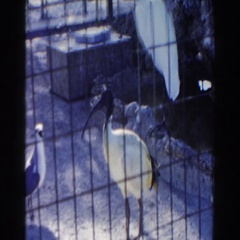 1960: birds with long tail in behind cage bars MIAMI, FLORIDA Stock Footage