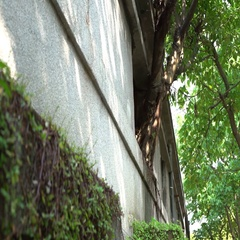 4K Big tree with green leaves grow in the window of a old house whit crackes-Dan Stock Footage
