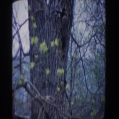 1961: the bird that blends in with the trees. NOVI MICHIGAN Stock Footage