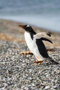 Portrait to Papua penguin on the gravel on the seashore Stock Photos