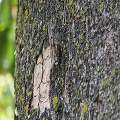 Chirring cicada on tree close up Stock Footage