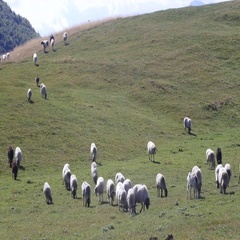 Flock of sheep on green grass Stock Footage
