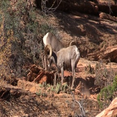 Desert Bighorn Sheep Rams in the Rut Stock Footage