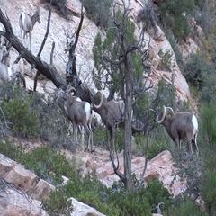 Desert Bighorn Sheep Rams Rutting Stock Footage
