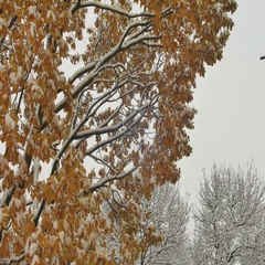 Breathtaking vivid nature view with maple leaves in first snowfall on solar blur Stock Footage