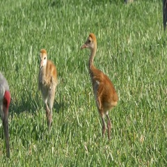 Sandhill Crane Chicks Follow Mom Through Grass, 4K Stock Footage