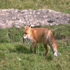 Hunting Fox in the Wilderness Stock Footage
