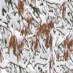 Awesome nature scene with closeup of maple leaves on the wind after heavy snow Stock Footage