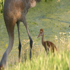 Pair of Sand Hill Crane Chicks Follow Mom Along Water, 4K Stock Footage