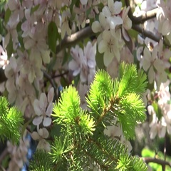 Blooming white yablonya.El on the background color. Stock Footage