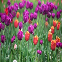 Colorful tulips in the park Stock Footage