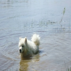 Samoyed husky floating in the river Stock Footage