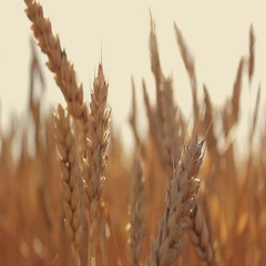 Spikelets of wheat on a field at sunset Stock Footage