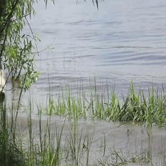 Samoyed husky running on the water in the river and playing Stock Footage