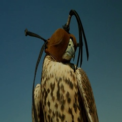 Falconer removing hood from falcon's head. Stock Footage