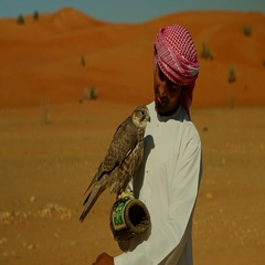 Arab man with falcon perching on his hand at desert. Stock Footage