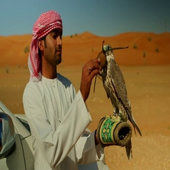 Falconer putting hood on falcon's head. Stock Footage