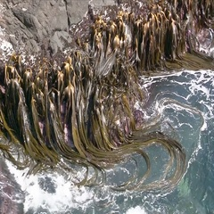 Kelp attached to rocks moving with the tide of the ross Sea, Antarctica Stock Footage