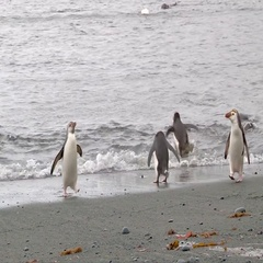 Royal Penguins (Eudyptes schlegeli) arriving at Enderby Island beach, where Stock Footage