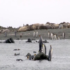 King Penguin (Aptenodytes patagonicus) on coastline bathing with Elephant Seals Stock Footage