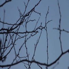 Silhouettes of leafless branches with buds on a dark blue sky Stock Footage