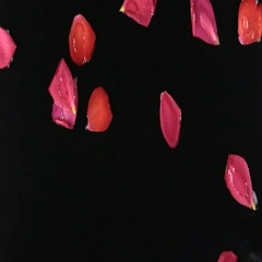 Wind on rose petals with dew drops, spa concept. Beautiful relaxing Stock Footage