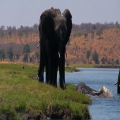 African elephant at the river Stock Footage