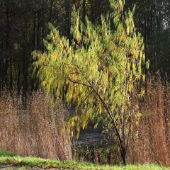 Yellow weeping willow Stock Footage