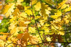 Background of bright sun shining through colorful autumn oak leaves Stock Photos