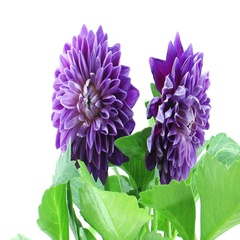 Time-lapse of dying purple dahlia Stock Footage