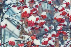 Frozen rowanberry. The first snow Stock Photos