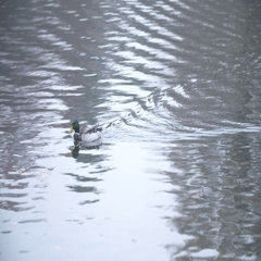 Ducks swimming in swamp in summer or autumn, close-up, Garganey Stock Footage