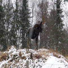 A moose in a snow storm Stock Footage
