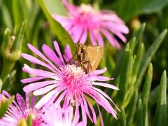Parnara guttata butterfly on flower in south Korea Stock Footage