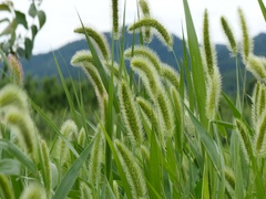 Gyeongsan, Korea, Swaying natural foxtail in countryside scene Stock Footage