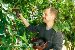 Man getting the crop of avocado Stock Photos