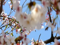 Focusing Cherry flower blossoms in branch Stock Footage