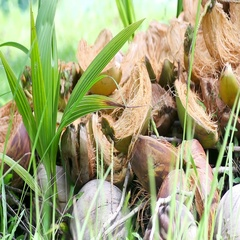 Germinated coconuts on green grass Stock Footage