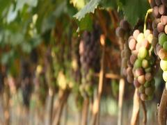 Gyeongsan, Korea, Fresh Grapes in a farm at sunbeam Stock Footage