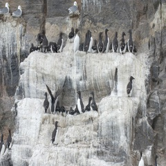 Brunnich's guillemot flock on a rock Stock Footage