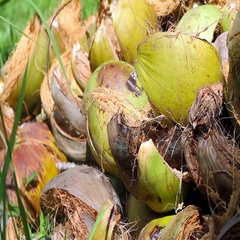 Coconut shells close up Stock Footage