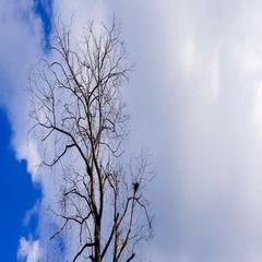 4K Time lapse of clouds movement in blue sky with dried tree foreground Stock Footage