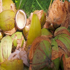 Waste coconut shell lying Stock Footage