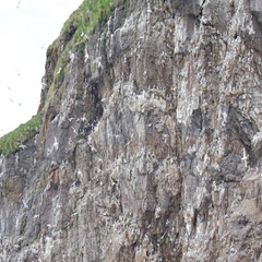 Brunnich's guillemot flock Flying Stock Footage