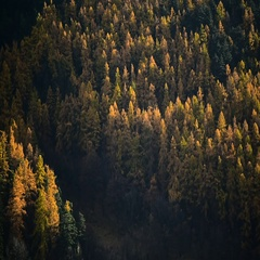 Contrast between larch trees and pine trees in autumn season Stock Footage