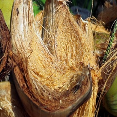 Coconut shells close-up Stock Footage