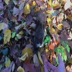 Squirrel In Autumn Forest, ULTRA HD 4k, real time Stock Footage