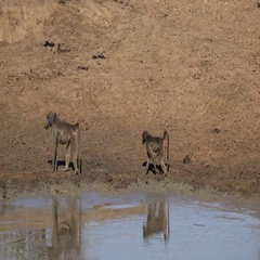 Baboons at the waterhole (South Africa; 4K footage) Stock Footage